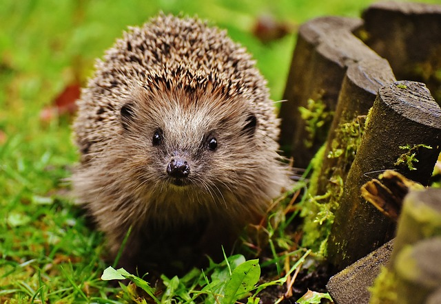 Hedgehog   gardeners in colchester   west property management